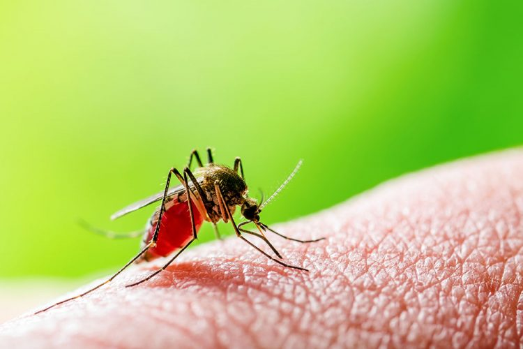 mosquito on human skin, the vector for transporting leishmania parasite between hosts
