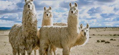 Antibody from llama
