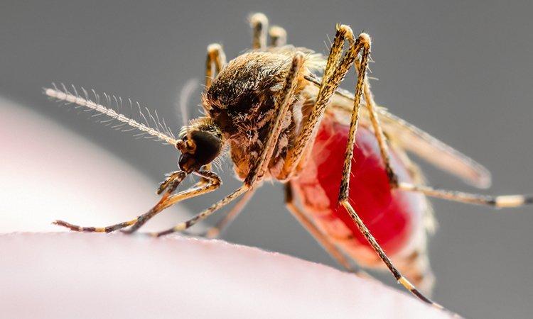 Leishmaniasis mosquito