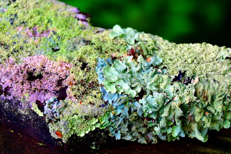 various differently coloured lichen growing on a branch - the different colours are due to different biosynthetic pathways