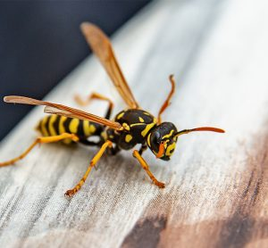 Wasp on a wooden platform [Credit: University of Pennsylvania].