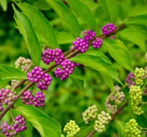 American beautyberry shrub with purple berries in clusters and bright green leaves