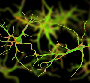 two astrocytes coloured green