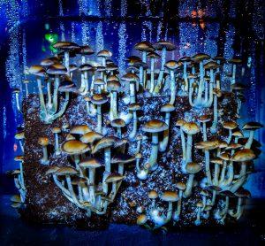 Colombian Rust magic mushrooms