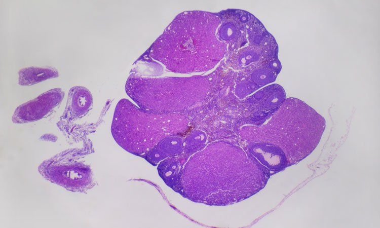 mouse egg protein