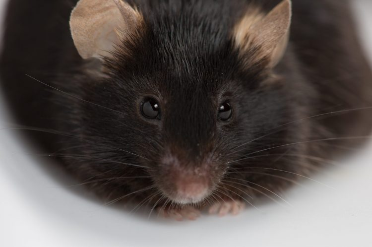 obese black mouse