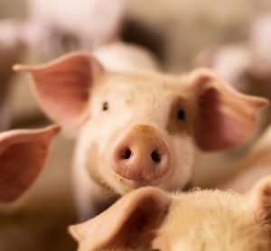 pink pigs