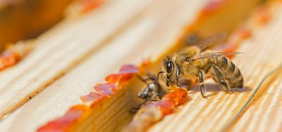 Bees laying red propolis at the edges of their hive. The propolis resin protects the hive from bacteria and fungus.