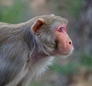 profile of a rhesus macaque, grey coated monkey with a pink face and ears