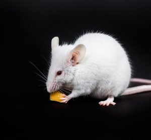 Mouse with diabetes